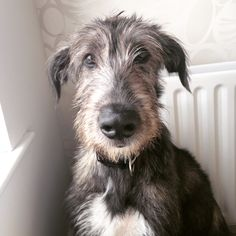 handsomedogs:  This is Aoife, my 11 month old Irish Wolfhound! She's a lot of laughs