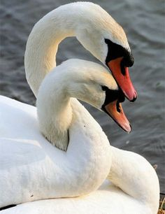 Spring Lovers - Swans mate for life. Gorgeous beautiful swan photo of birds. Pretty Birds, Love Birds, Beautiful Birds, Animals Beautiful, Beautiful Swan, Majestic Animals, Beautiful Sunset, Beautiful Life, Simply Beautiful