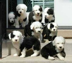 Old English Sheepdog Puppies... makes me want another.... and another...