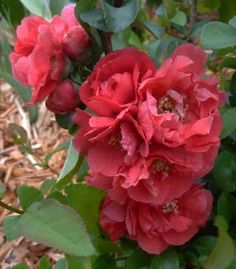 Double Take Pink Storm flowering quince -- for the front garden