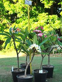 snow and other opg sights trees plumeria tree and other