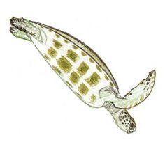 Learn how tondraw a sea turtle