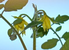 My Tomato plant flowering and very sparkly! So Magical!