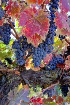 Grape vines for mural