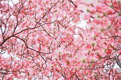 Cherry blossoms. So lovely.