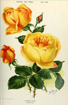 Rose Rayon d'Or | Flickr - Photo Sharing!