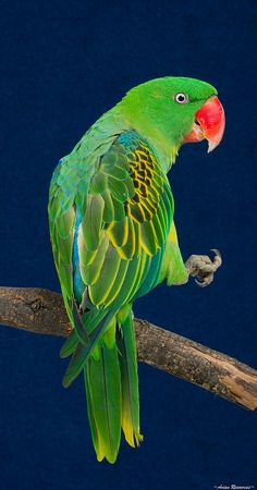 Great-billed parrot (Tanygnathus megalorynchos)