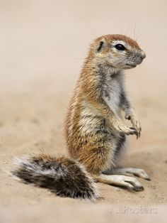 African ground squirrels (Xerus inauris)