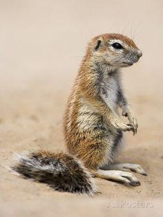 African ground squirrels (Xerus inauris)