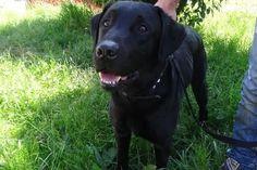 BILLY   Type : Labrador Sexe : Mâle Age : Adulte Couleur : Noir  Taille : Moyen Lieu : Haute-Savoie - 74 (Rhône-Alpes)  Refuge :  Refuge de l'espoir(Haute-Savoie)  Tél : 04.50.36.03.39