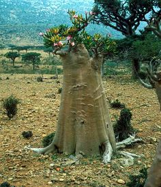 Adenium socotranum has poisonous bark Succulent Bonsai, Bonsai Plants, Cacti And Succulents, Planting Succulents, Cactus Plants, Garden Plants, Planting Flowers, Unusual Flowers, Unusual Plants