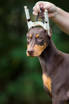 The Doberman Pinscher is among the most popular breed of dogs in the world. Known for its intelligence and loyalty, the Pinscher is both a police- favorite Doberman Pinscher Blue, Blue Doberman, Doberman Love, Doberman Puppies, Weimaraner, Rottweiler, Doberman Shepherd, Handmade Dog Collars, Beautiful Dogs