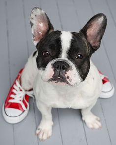 love the red converse on this cute little french bulldog!