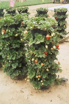Vertical gardening for strawberries.