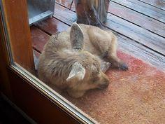 sleeping baby moose