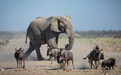 Un elefante se acerca a una charca de agua en el Etosha National Park, Namibia (Rian Van Schalkwyk, 2015)