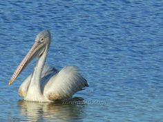 A pelican wandering around the lake.