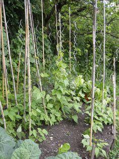 - Fagiolini:  coltivazione 2