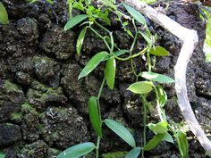 Vanilla orchid care is very specific and each requirement must be met exactly in order for the vine to produce fruit. Learn how to grow vanilla orchid in the home interior. This article will help with that.