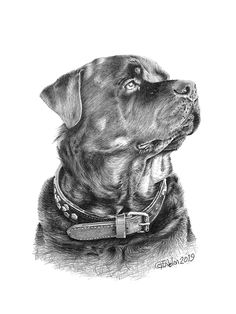 This rottweiler pencil portrait was commissioned as a Christmas present. My drawings make great gifts for all occassions valentines, birthdays