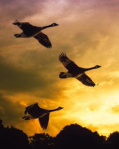 Canadian Geese heading south, before the storm. Golden sunset background. Original fine art nature canadian geese photography by Bob Orsillo  Copyright (c)Bob Orsillo / http://orsillo.com - All Rights Reserved.  Buy art online.  Buy photography online