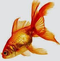 Goldfish is one of the most common choices for aquaponics fish.