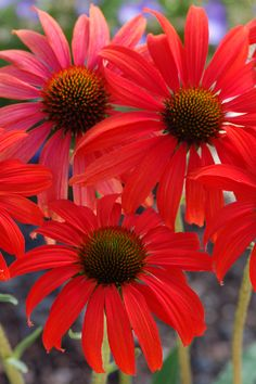 Tomato Soup Coneflower is a fragrant coneflower! Brilliant red flowers attract birds and butterfiles well into fall. Plant in wide swaths for eye-popping in a perennial border. Full sun. Zone: 4 – 9