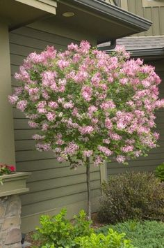 Tinkerbelle is a dwarf lilac with a pleasing spicy fragrance and incredible wine-red flower buds that open in late spring. Does well as a tree form, like is shown in this picture.