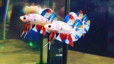 Aquarium Setup, Siamese Fighting Fish, Art Of Living, Betta Fish, Photo Displays, Emerald, Live Art, Fish Tanks, Candy