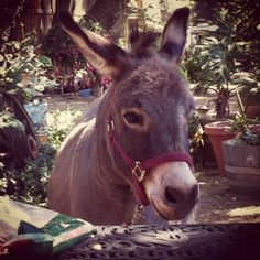 Abraham the Mini Donkey
