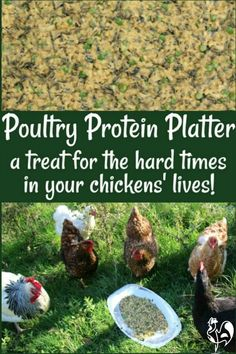 High protein foods can be good for your chickens when they need an extra boost. Here's a recipe they'll love: a Protein Poultry Platter! Protein For Chickens, Food For Chickens, Raising Backyard Chickens, Urban Chickens, Keeping Chickens, Pet Chickens, Backyard Farming, Chicken Garden, Best Chicken Coop