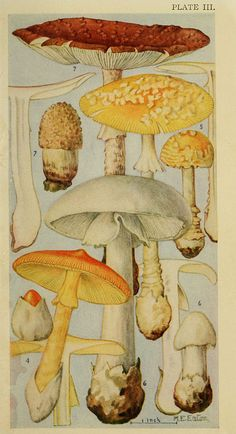 Field book of common gilled mushrooms New York :G. Putnam's book of common gilled mushrooms New York :G. Nature Illustration, Botanical Illustration, Graphic Illustration, Botanical Drawings, Botanical Prints, Illustration Botanique, Mushroom Art, Nature Prints, Fauna