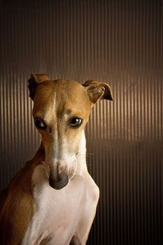 The Whippet. Such sweet, loving dogs