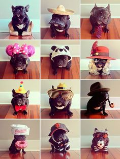12 styles of adorable frenchie pup!