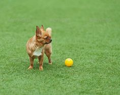 Red chihuahua dog on green grass. ... adorable, animal, background, ball, breed, chihuahua, dog, doggy, domestic, friend, friendly, funny, looking, mammal, muzzle, pedigree, pedigreed, pet, pup, puppy, purebred, red, yellow