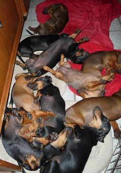 pack of wieners doxie
