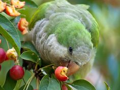 Quaker parrots are just beautiful