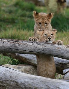 Lion cubs Ken & Dixie sure do look like they'll always have each other's backs! (photo: Angie Bell)