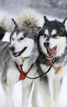 "The Siberian Husky (Russian: сибирский хаски, ""Sibirsky hasky"") is a medium size, dense-coat working dog breed that originated in north-eastern Siberia. The breed belongs to the Spitz genetic family. It is recognizable by its thickly furred double coat, erect triangular ears, and distinctive markings.Huskies are a very active, energetic, and resilient breed whose ancestors came from the extremely cold and harsh environment of the Siberian Arctic. Siberian Huskies were bred by the Chukchi ..."