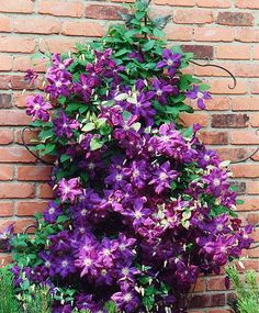 Clematis...it's a climbing plant.  I thought it might be fun to have a clematis growing on a trellis on the wall of your house between the big window and the porch, or up the porch railings, or on the side of the garage.  It gives some height and texture.  There are tons of varieties, however they will bloom for a couple weeks and be done.