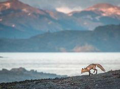 A fox kit prowls along a lakeshore in Alaska's Katmai National Park and Preserve. The huge park—it covers more than four million acres—is also home to moose, caribou, gray wolves, wolverines, lynx, and, most famously, brown bears. Photograph by P. Warner, National Geographic Your Shot, December 31, 2014