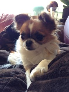 Tikka the long haired chihuahua puppy. #longhair chi #dog #puppy