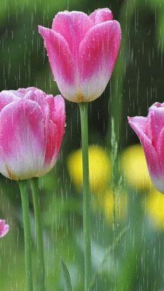 Tulip rain!!
