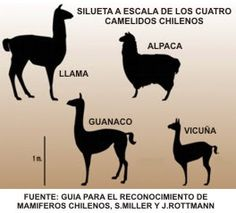 Llamas and alpacas are members of the Camelid family are related to camels… Alpacas, Baby Animals, Cute Animals, Llama Arts, Baby Llama, Inca Empire, Cute Alpaca, Funny Llama, 4th Grade Art