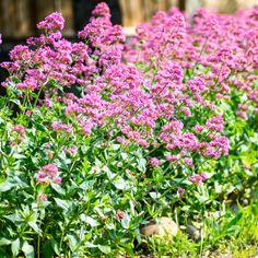 6 Herbs to Grow for Emotional Health - Gardening - Mother Earth Living Herb Garden, Garden Beds, Growing Herbs, Mother Earth, Organic Gardening, Mental Health, Water, Flowers, Plants