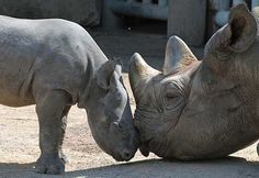 Baby rhinos need their moms! Keep them safe. Donate today at fightforrhinos.com #rhinos #mothersday #animals #love