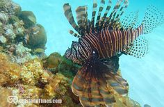 The dreaded but beautiful Lionfish. This big one was spotted just off the beach at Trunk Bay!