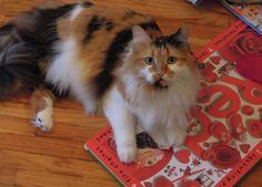 Our beautiful Calico, Flower.