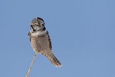 Hawk Owl by Michel Gauvin