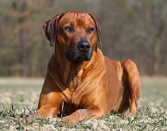 brindle dog breeds rhodesian ridgeback - Google Search
